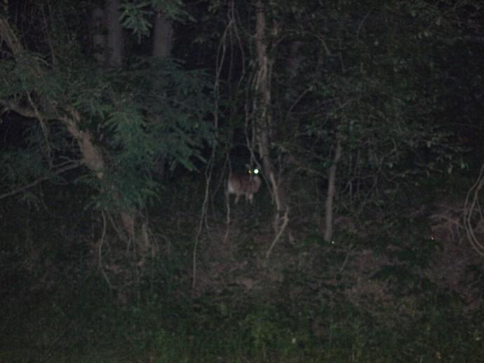 Bear eyes at night - photo#14